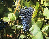 Syrah grapes (also known as Shiraz)