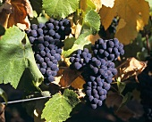 Pinot Noir grapes (also known as Spätburgunder)