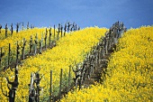 Flowering charlock in Carneros region, Napa Valley, Calif.