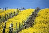 Blühender Ackersenf im Carneros Bezirk, Napa-Tal, Kalifornien