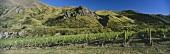 Vineyard in Central Otago, N. Zealand
