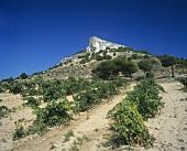 Weinberg um Curiel de Duero, Ribera del Duero, Spanien