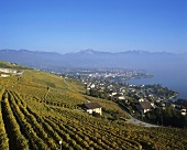 Vineyards on Lake Geneva, Switzerland