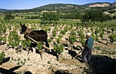Traditional ploughing in vineyard in Majorca