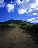 Vineyard of Klein Constantia Estate, Constantia, S. Africa
