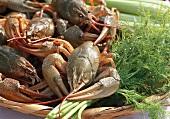 Danube crayfish (Astacus leptodactylus) in basket