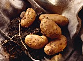 Potatoes Freshly Dug from the Ground