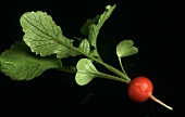 A Single Red Radish
