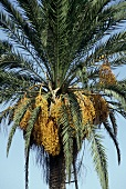 A flowering date palm