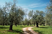 A Dirt Road Running Through an Olive Grove