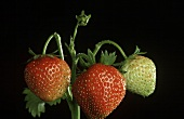 Strawberry Plant with Red and Green Strawberries