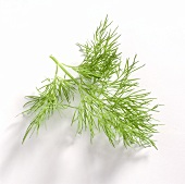 Sprig of Fresh Dill