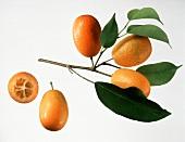 Drei Kumquats am Zweig, einzelne Kumquats & halbe Kumquat