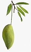 Eine grüne Mango am Zweig