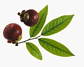 Two Mangosteen; Branch