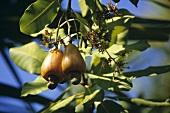 Zwei Cashewnüsse am Baum