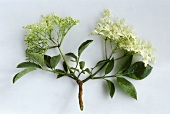 Flowers of the elder (Sambucus nigra)