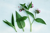 Comfrey (Symphytum officinale) leaves and flowers