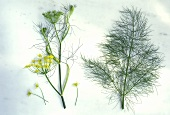 Fennel (Foeniculum vulgare), sprig with & without flowers