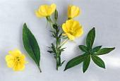 Evening primrose (Oenothera biennis) a few leaves & flowers