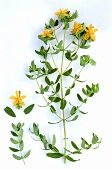 St. John's wort, sprig with leaves & yellow flowers