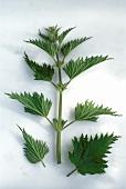 Brennessel (Urtica dioica), ein Zweig & zwei einzelne Blätter