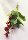 Fresh sage with red flowers on light-coloured background