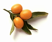 Three kumquats on a branch on white background