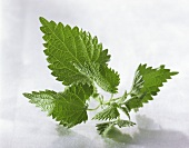 A nettle on a white background