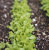 Lettuces in a row in the field