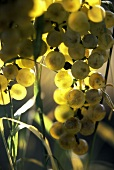 Light-coloured grapes, the sun shining through them
