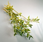 Fresh sprig of thyme on light background