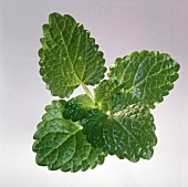 Lemon balm on light background