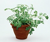 Wormwood in a clay pot