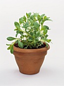 Winter savory in terracotta pot