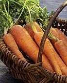Fresh garden carrots in a basket