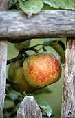 Cox's Orange apples on a branch behind a wooden fence