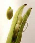 Grüne Bohnenschote mit Bohnenkernen (Dicke Bohne)