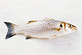 Loubine (sea perch) on white background