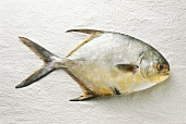 Pompano (butterfish) on white background