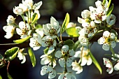 Pear blossom on a branch on the tree