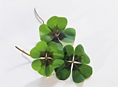 Three clover leaves (4 leaf clover) on a white background