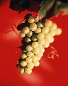 Green grapes against a red backdrop