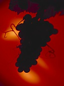 Silhouette of grapes against a red backdrop