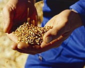 Hands holding grains of wheat