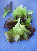 Eichblattsalat auf blauem Untergrund