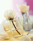 White rose in a water glass