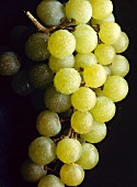 Green dessert grapes with drops of water