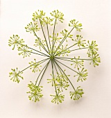 A dill umbel (flower cluster) on a white background