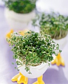 Cress growing in egg shell in egg-cup as Easter decoration